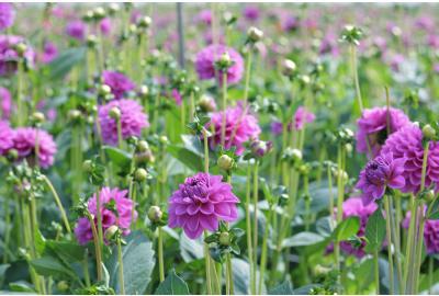 Pflanzanleitung für Dahliakknollen