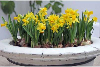 Kann ich Tulpen und Narzissen in Töpfen pflanzen?