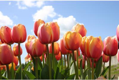 Wie pflanze ich Tulpenzwiebeln und Narzissenzwiebeln?