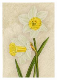 Daffodil Madame De Graaff