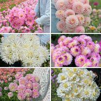Pink Picking Garden Mix