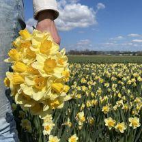 Narcis Yellow Salome