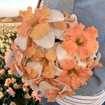 Daffodil Electrus