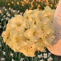 Daffodil Lemon Lake