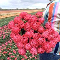 Double pink tulip Taiwan