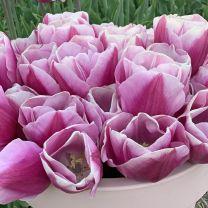 Tulip Argos