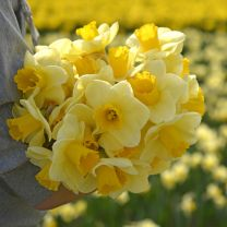 Narcis Yellow Salome